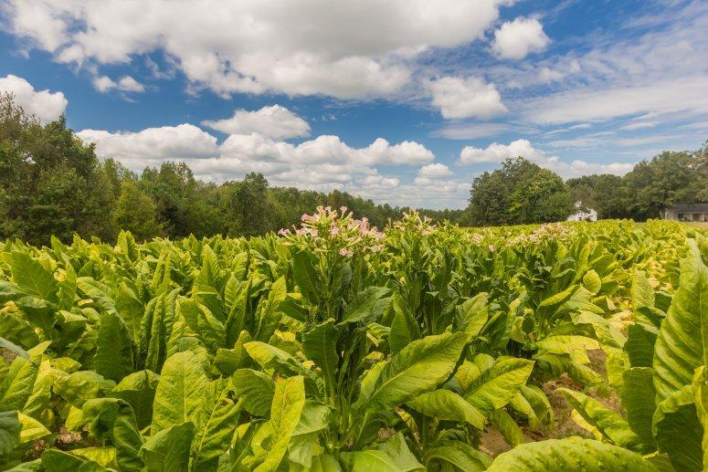 Tobacco farming, Virginia