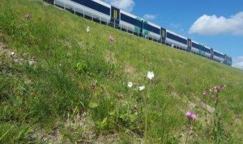 Wildflower embankments - credit to Network Rail